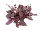 Basilic Rouge Osmin
