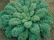 Chou Kale Westlandse Winter